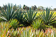 Cactus Thiemann - one of the largest cactus farm in Africa, Marrakech, Morocco, 2018–02-27.
