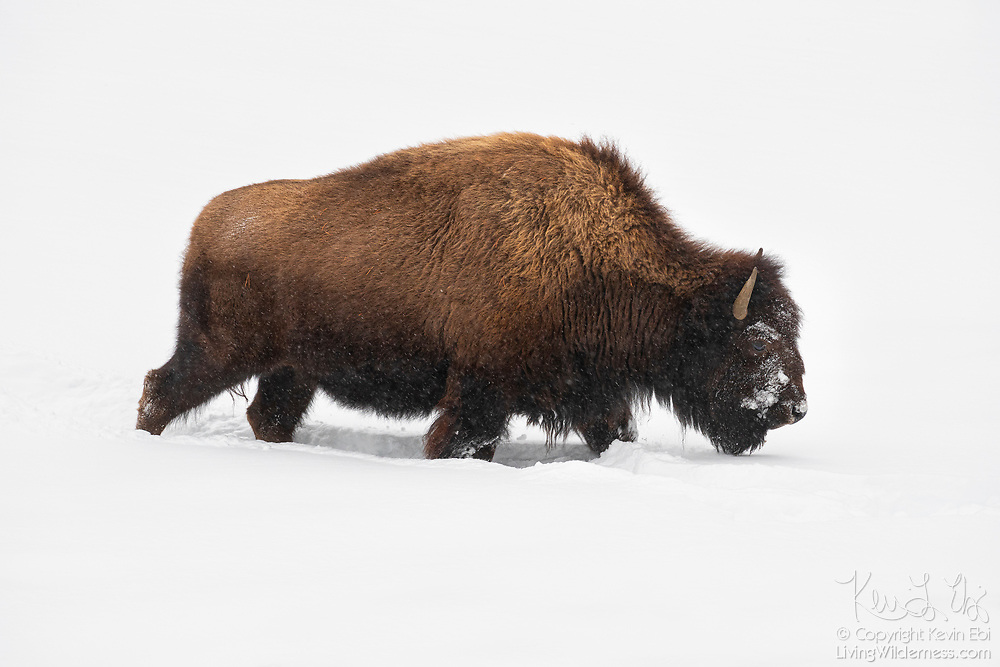 An American bison (Bison bison) walks in deep snow near Fountain Flat in Yellowstone National Park, Wyoming. Bison are well equiped for harsh winter conditions. They grow a winter coat of wooly underfur, which has coarse hairs that protect them from the elements. The humps on their backs also contain muscles supported by long vertebrae that help swing their heads to move vast amounts of snow.