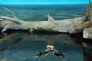 PRT, Portugal: Oceanario de Lisboa, das zweitgroesste seiner Art weltweit,  Lebensraum Pazifischer Ozean, zwei Seeotter (Enhydra lutris lutris) treiben im Wasser, die Realität geht nur bis zum Baumstamm, das Meer dahinter ist Fake, eine Wandtapete, Lissabon, Lissabon   PRT, Portugal: Oceanario de Lisboa, the second largest world wide, habitat Pacific Ocean, two Sea Otters (Enhydra lutris lutris) driving in water, reality ends at trunk, the ocean behind is a fake, a wallpaper, Lisbon, Lisbon  