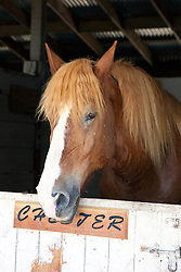 A horse named Chester in a stall at the California Mid State Fair, Paso Robles, California, United States of America