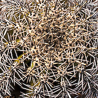 Saguaro National Park, Tucson, Barrel cactus detail
