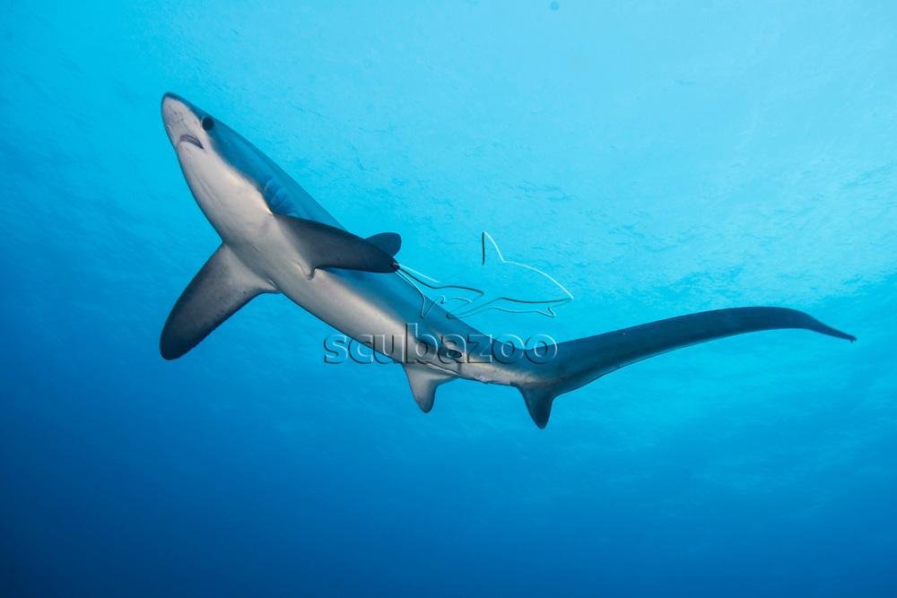 Pelagic Thresher Shark, Alopias pelagicus, Malapascua Island, Visayan Sea, The Philippines.