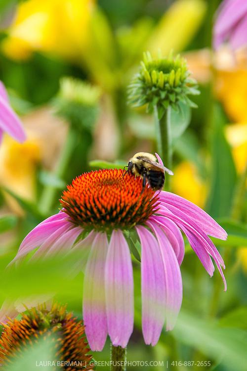 Bumblebee on purple cone flower (Echinacea purpurea)