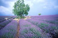France - Provence - Alpes Haute Provence - Plateau de Valensole - Champs de Lavande