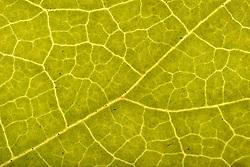 THEMENBILD - Blattfarben des Herbstes, Macroaufnahme, im Bild Assimilation im Herbst, Blattgrün (Chlorophyll) wird zunehmend verdr√§ngt durch gelbe Carotine, Carotinoide, Xanthophylle, Blattstruktur der Dreispitzigen Jungfernrebe (Parthenocissus tricuspidata) im Durchlicht, Detail. Bild aufgenommen am 13.10.2013. EXPA Pictures © 2013, PhotoCredit: EXPA/ Eibner-Pressefoto/ Weber<br /> <br /> *****ATTENTION - OUT of GER*****