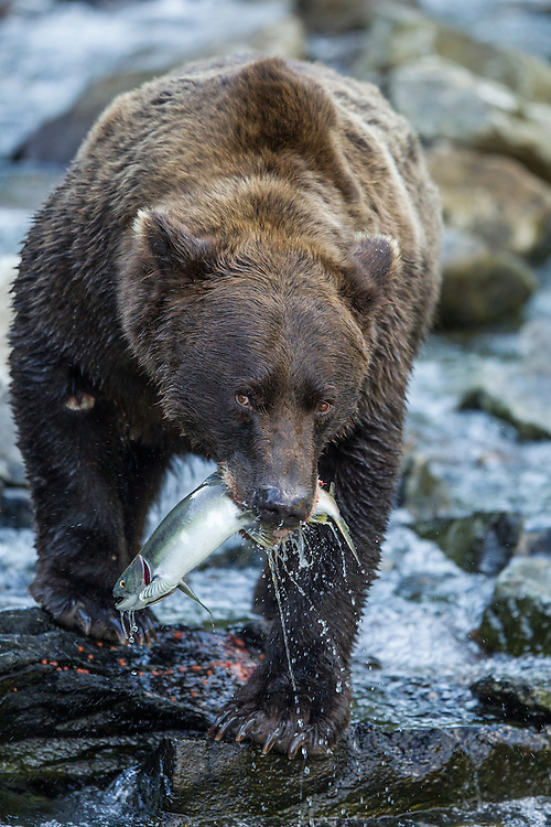 USA, Alaska, Katmai National Park, Coastal Brown Bear (Ursus arctos) feeding on spawning salmon along Kuliak Bay