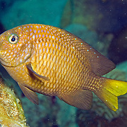 Yellowtail Damselfish inhabit shallow reef tops in Tropical West Atlantic; picture taken St. Vincent.
