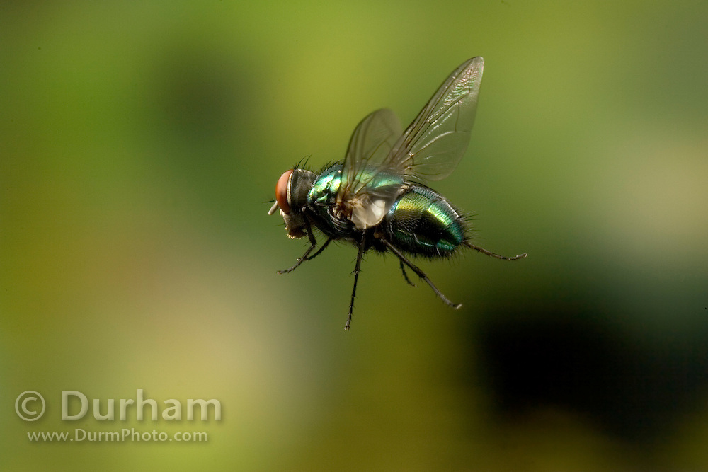 A Green Bottle Fly (Calliphora sp.) , a member of the blow fly family, photographed in 1/50,000 of a second in Western Oregon.
