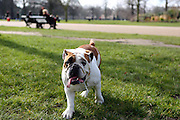 English bulldogs gather at a monthly meet-up in London's Kensington Gardens