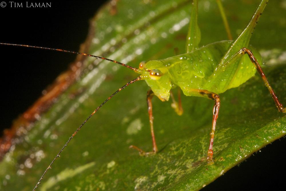 A katydid on a green leaf.