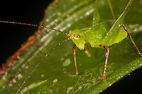 A katydid on a green leaf.