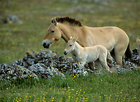 Mare and foal,  Przewalski horses