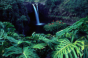 Monstera plant, Rainbow Falls, Hilo, Island of Hawaii, Hawaii, USA<br />