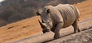 Alberto Carrera, White Rhinoceros, Ceratotherium simum, Square-lipped Rhinoceros, Serowe, Botswana, Africa
