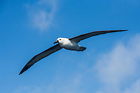Indian Ocean Yellow-Nosed Albatross in flight, Cape Canyon Trawl Grounds, South Africa
