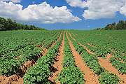 Potatoe field and iron rich red soil<br /> Annandale<br /> Prince Edward Island<br /> Canada