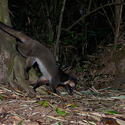 Masked palm civet (Paguma larvata), Kaeng Krachan National Park, Thailand.
