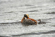 Horned Grebe Preening with chick in water behind