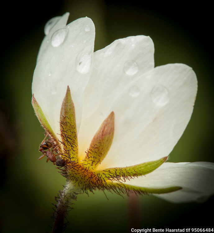 Maur suger nektar på reinrose (Dryas octopetala), ved Engabreen i Svartisen. Nordland.