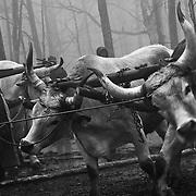 Italy, Basilicata- Preparing oxen for towing the big beech tree © 2012 Mama2