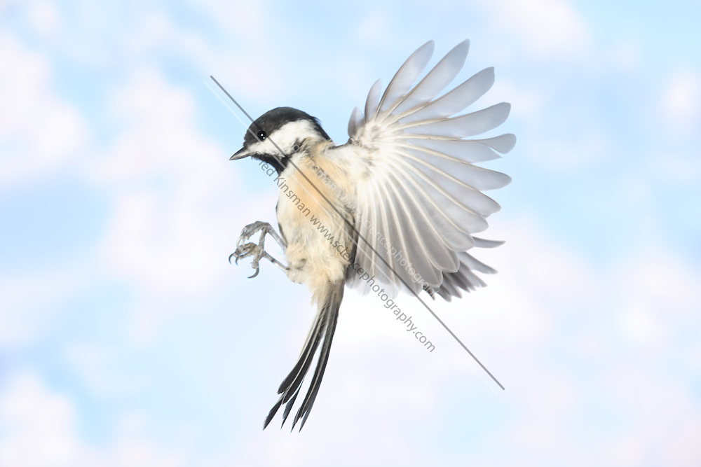 A black-capped chickadee (Parus atricapillus) in Flight.  The bird has a seed in its beak.