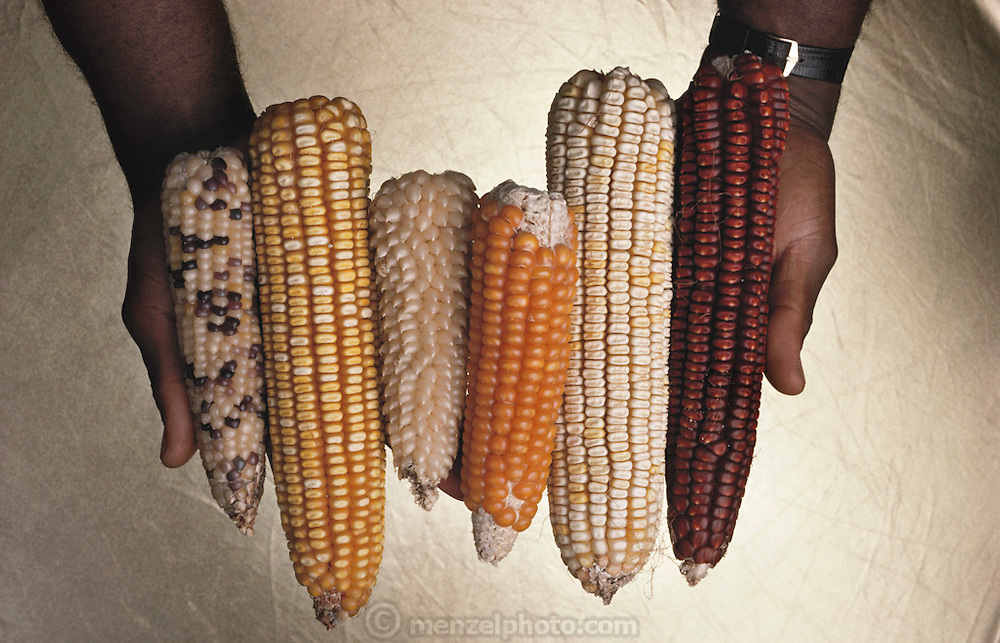 Assortment of the genetic varieties (hybrids) of corn produced for experimental cultivation. Different strains display variation in thickness, length and color of the cob, and the number of grains on the cob. Escagen Corporation, San Carlos, California.  [1987].