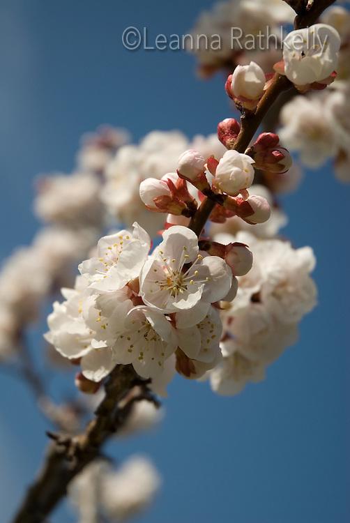 Apricot tree in blossom, springtime