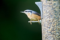 Red-breasted Nuthatch (Sitta canadensis) at garden bird feeder,   Gabriola , British Columbia, Canada