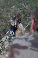 COYOTE HUNTER EXAMINING A HARVESTED COYOTE'S PAW