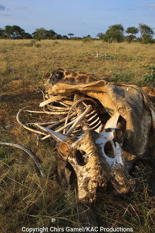 Masai griaffe carcass, remains of a lion kill.