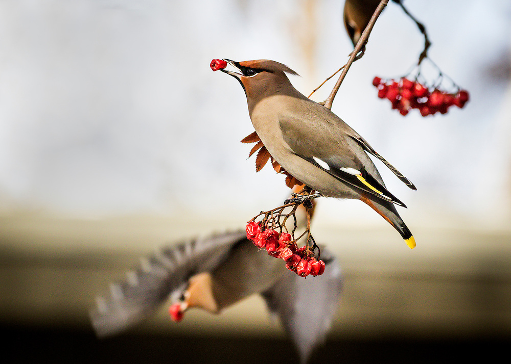 Alaska.  An adult Bohemian Waxwing (Bombycilla garrulus) clinging to a branch of a Mountain Ash tree (Sorbus sp.) while feeding on the cluster of red berries hanging below in Anchorage in February while another waxwing flies away.