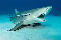 A Lemon Shark opens its mouth wide to allow Remoras to clean inside.<br /> <br /> Shot in Bahamas