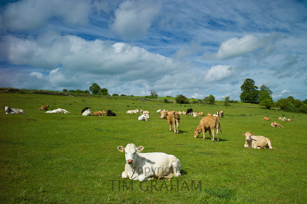 Herd of cattle in meadow, The Cotswolds, Oxfordshire, UK