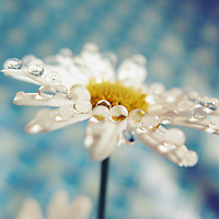 close up of a white daisy with droplets of water