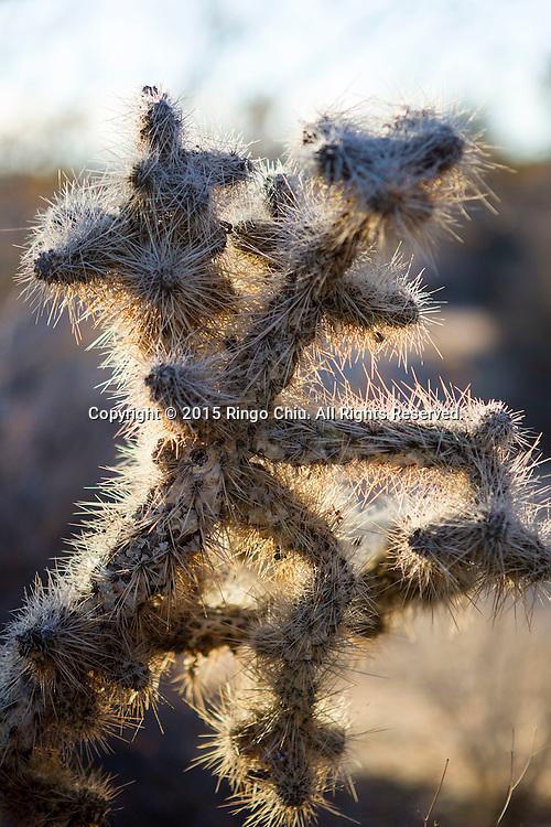 A Teddy Bear Cholla cactus is seen at Joshua Tree National Park in Twentynine Palms, California, January 25, 2015 (Photo by Ringo Chiu/PHOTOFORMULA.com)