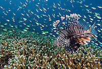 Lionfish Stalking Damsels