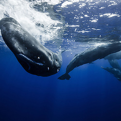 group of spermwhale, Indian Ocean, physeter macrocephalus, sperm whale