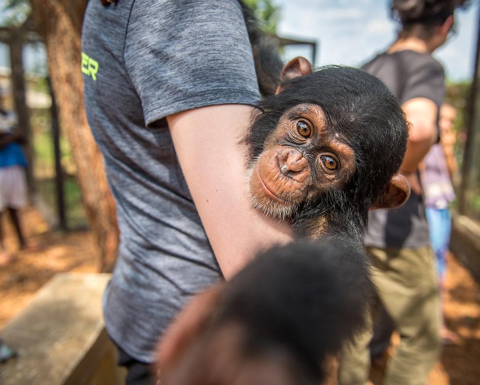Young female student holds chimpanzee (Pan troglodytes) who reaches for camera. Ganta LiberiaGanta Liberia