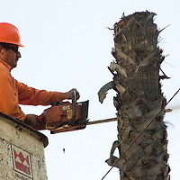 Jesus Frutos, tree trimmer from West Coast Arbarists, cuts down a healthy 70 foot tall Mexican Fan Palm at 2101 Ocean Avenue on Thursday, December 8, 2011.