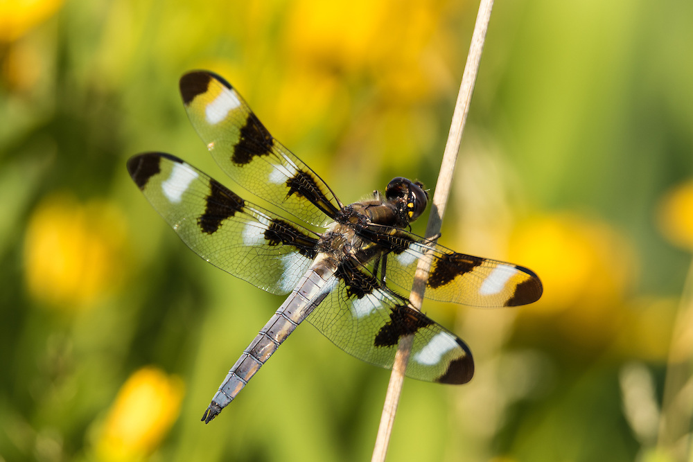 Dragonfly rests on the prairie