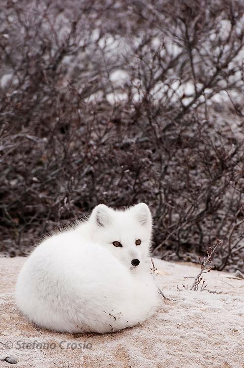 CANADA, Churchill (Hudson Bay).Arctic fox (Alopex lagopus)