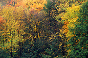 Pine and fall color, Allegheny National Forest, Pennsylvania, USA