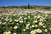Many Israelis visit nature reserves during spring to enjoy the local wildflowers Photographed at Dor Habonim Beach Nature Reserve Wild chamomile AKA German chamomile (Matricaria recutita) in the foreground