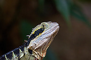 The photographer has this Australian Water Dragon's full attention in the Roma Street Gardens, Brisbane, Australia