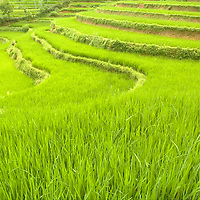 Rice paddy fields in northern Vietnam