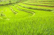 Rice paddy fields in northern Vietnam