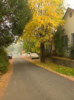 Yellow Fall Foliage Leaves on Black Locust Tree on a Quiet Small Town Residential Street in the Sierra Nevada Foothills Gold Country, Volcano, California