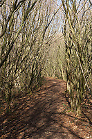 path through coppiced woodland in Cumbria