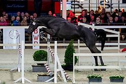013, Radetzky Van't Heike<br /> BWP Hengstenkeuring -  Lier 2020<br /> © Hippo Foto - Dirk Caremans<br />  17/01/2020