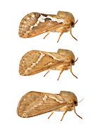 Common Swift - Korscheltellus lupulina<br /> 3.002 (17)